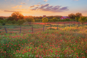 texas wildflower prints,texas wildflower photos,texas hill country,red wildflowers,firewheels,texas landscapes