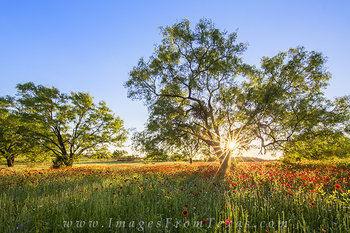 Texas Reds - Wildflowers at Sunset 4