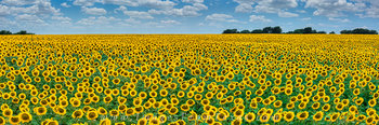 texas sunflower panorama,texas sunflower photos,sunflower images,sunflowers,texas wildflowers
