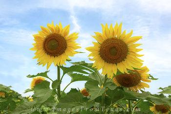 Texas Summer Sunflowers 2