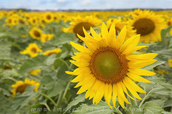Texas Summer Sunflowers 3