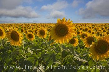 Texas Sunflower Morning 1