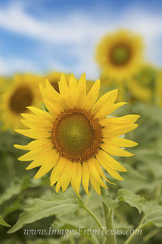 Texas Sunflower Portrait 1
