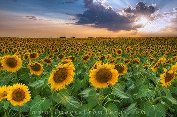 Texas Sunflower Sunset 1