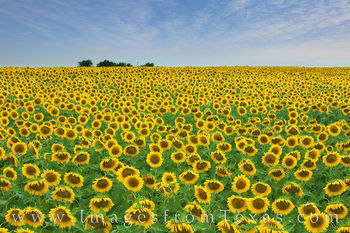 sunflowers, texas wildflowers, wildflowers. gold, sunflower field, texas backroads