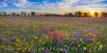 Wildflowers, panorama, new berlin, spring, april, red, blue, yellow, gold, purple, phlox, bluebonnets, coreopsis, groundsel, paintbrush, primrose, buttercups, private, sunrise, sunburst