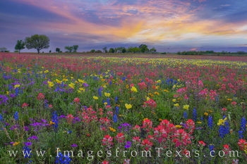 paintbrush, bluebonnets, buttercups, primrose, phlox, wildflowers, sunset, new berlin, church road, san antonio, colors, evening, texas wildflowers
