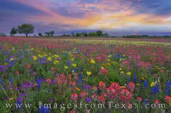 Texas Wildflower Sunset 328-3