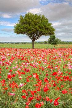 Texas Wildflowers - Corn Poppies 1