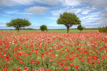 texas wildflower images,corn poppies,texas wildflower photos,texas landscapes,wildflowers,poppy images