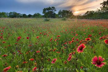 Texas Wildflowers - Indian Blankets 3