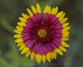 texas wildflowers, texas wildflower photos, macro, indian blankets, firewheels, texas images, texas flowers