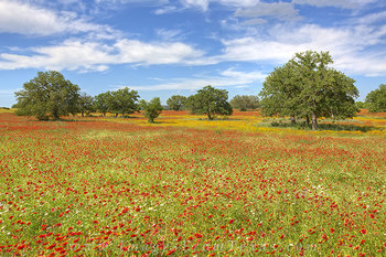 Texas Wildflowers and Fields of Fire 2