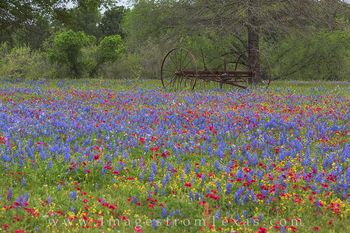 texas wildflowers, bluebonnets, luling, texas spring, spring wildflowers, phlox