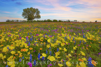 Texas Wildflowers in the Evening 327-2