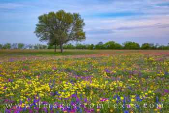 Wildflowers, Texas, bluebonnets, phlox, groundsel, coreopsis, Missouri primrose, primrose, buttercups, paintbrush, new berlin, church road, san Antonio, spring, march