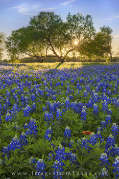 bluebonnet photos, bluebonnet prints, texas bluebonnets, texas wildflowers, texas hill country, texas wildflower photos, sunset, hill country prints