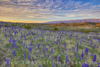 river road west, sunrise, bluebonnets, big bend chisos mountains, chihuahuan desert, dirt road, back country, wildflowers, desert bloom, spring, west texas
