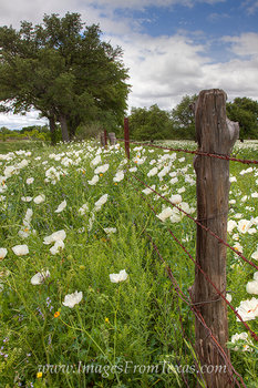 Texas Wildflower Images - White Poppies