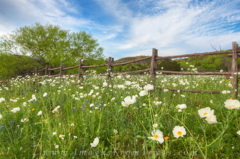 White Poppies along a Wooden Fence