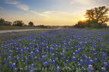 bluebonnet photos, texas wildflower prints, texas wildflower photos, bluebonnets, texas highways, texas hill country 29, llano, mason, 2017 wildflowers, texas landscapes, texas sunrise