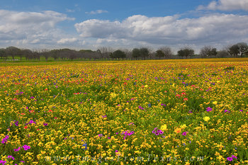 texas wildflower pictures,new berlin,church road,indian paintbrush,texas wildflowers