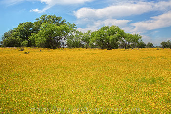texas wildflowers,bitterweed,texas hill country,texas landscapes