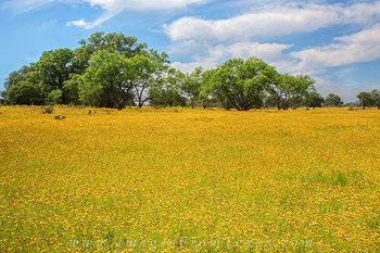 Wildflowers of Texas - Bitterweed 1