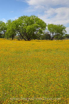 texas wildflowers,texas wildflower prints,texas hill country images,texas hill country photos,texas hill country prints,texas landscapes
