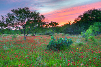 wildflower,texas wildflower prints,indian blankets,texas hill country