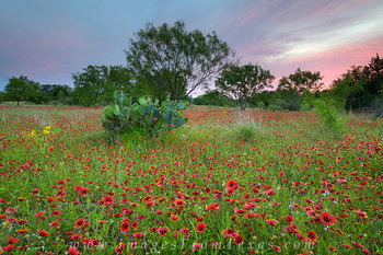 Wildflowers of Texas - Indian Blankets 4