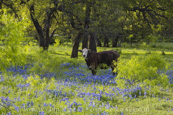 bluebonnets, texas hill country, texas wildflowers, cows, cows in bluebonnets