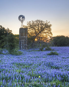 Bluebonnet images,bluebonnet photos,bluebonnet pictures,texas wildflower images,texas wildflower pictures,texas wildflower photos,texas wildflowers texas bluebonnets,bluebonnets,bluebonnet,blue bonnet