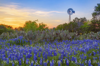 Bluebonnets, windmill, Johnson city, hill country, wildflowers, cacti, april, spring, 1320, evening, sunset