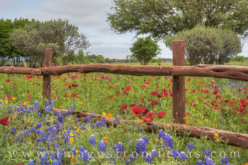 bluebonnet photos,texas wildflower photos,bluebonnet prints,texas hill country,wooden fence