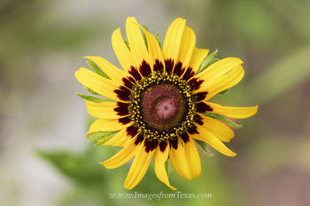 texas wildflowers,yellow wildflowers,texas wildflower images,texas wildflower prints