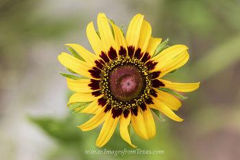 Yellow Coneflower 1