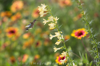 texas wildflower photos,hummingbird images,texas sage,yellow wildflowers