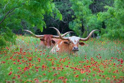 texas wildflower images, longhorn, longhorns, texas longhorns, texas wildflowers,longhorns in wildflowers,texas hill country photos,hill country longhorns