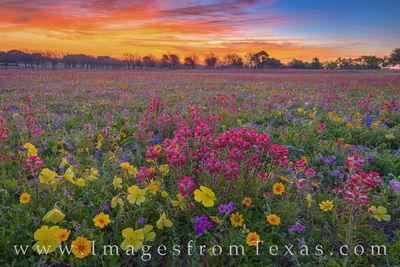 Texas Wildflower Sunrise 402-1