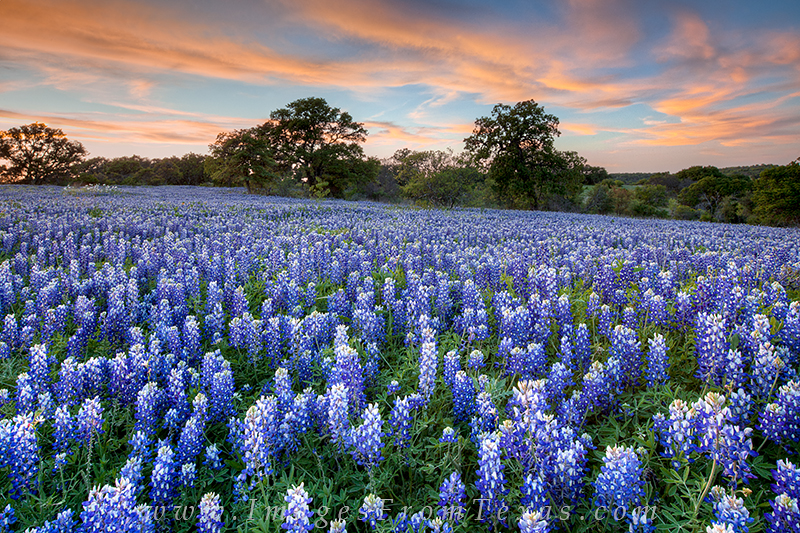 bluebonnets,bluebonnet images,texas wildflower images,wildflower,hill country,texas landscapes,wildflower prints,bluebonnet prints