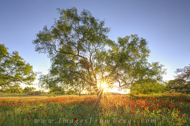 firewheels,texas wildflowers,texas hill country,wildflower images,red flowers,llano,texas landscapes