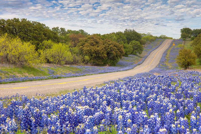 bluebonnet images,bluebonnets,texas bluebonnets,texas wildflowers,texas hill country wildflowers
