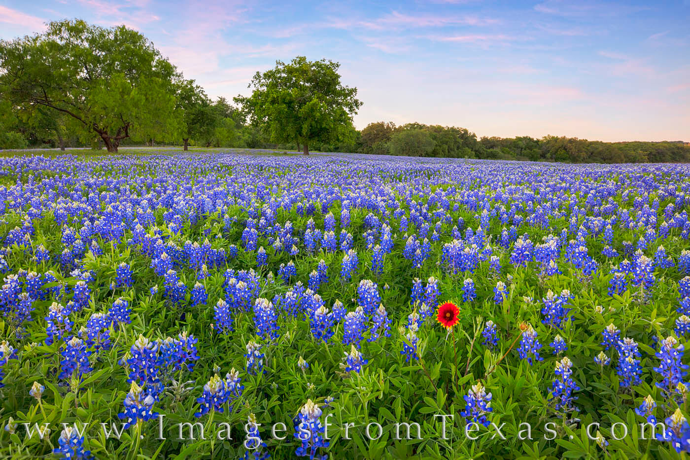bluebonnets; bluebonnet photos; texas wildflowers; indian blankets; texas wildflower prints; texas hill country; marble falls; texas spring; spring landscape; texas landscapes, photo