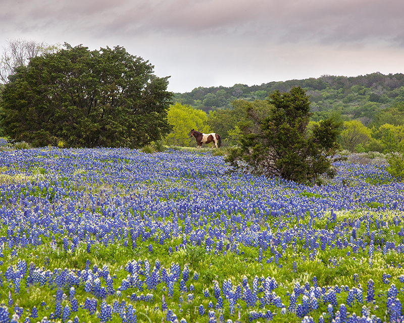texas wildflower images,bluebonnet photos,bluebonnet prints,horses in bluebonnets, photo