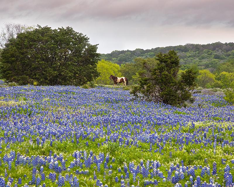 texas wildflower images,bluebonnet photos,bluebonnet prints,horses in bluebonnets, photo