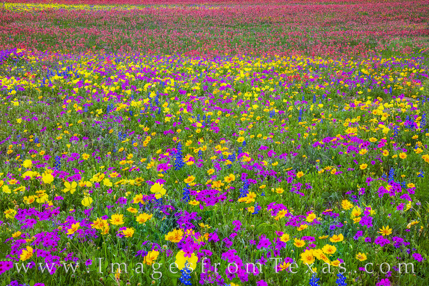 Wildflowers, color, evening, new berlin, Texas flowers, paintbrush, phlox, primrose, buttercups, bluebonnets, spring, red, purple, blue, yellow, gold, white, green, san Antonio, church road, photo
