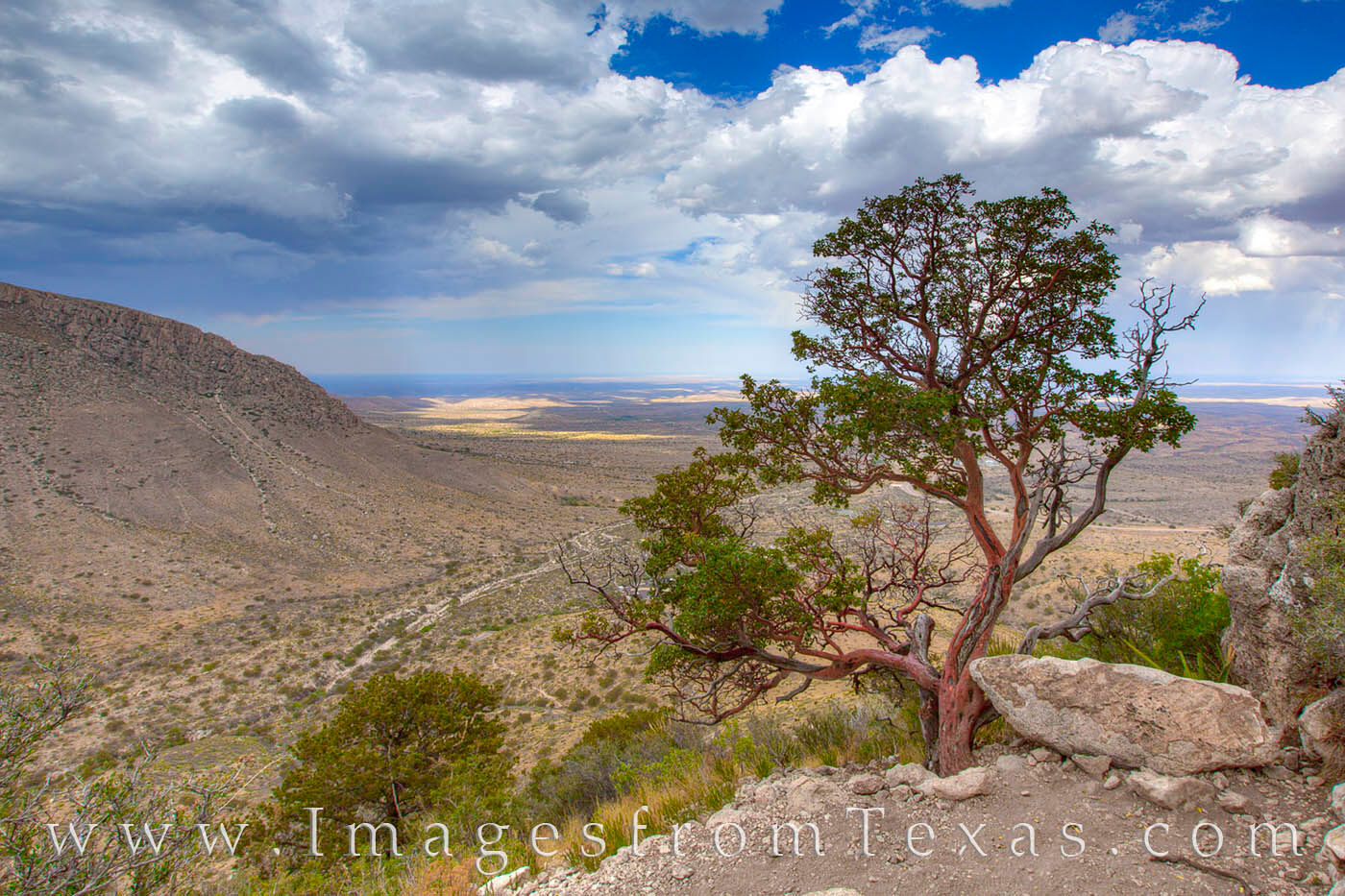A Texas Madrone in the Guadalupe Mts