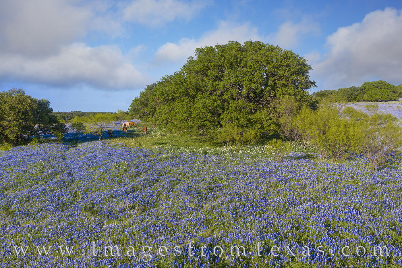 A field of bluebonnets is seen in this aerial view on a cool spring day in the late afternoon. Far away from any paved roads...
