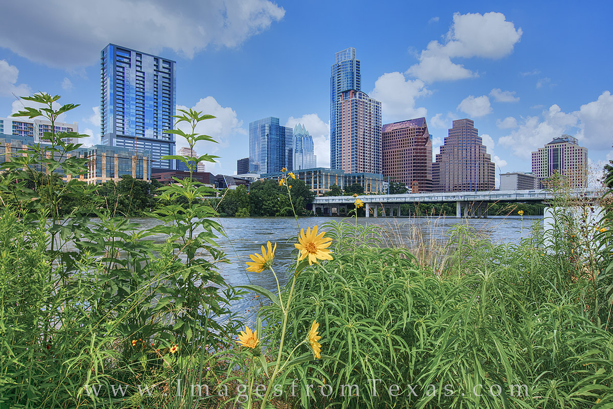 austin skyline, austin sunflowers, zilker park, lady bird lake, austin texas, austin tx, ATX, photo